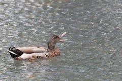 quack Imágenes de archivo libres de regalías