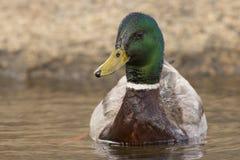Quack Stock Images