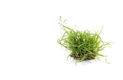 Quack grass Royalty Free Stock Photography