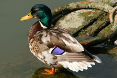 Quack Quack Royalty Free Stock Photo
