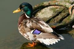 Quack Quack. Mallard duck standing alone on a rock near water Royalty Free Stock Photo