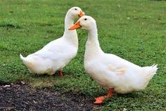 Quack Quack Royalty Free Stock Image