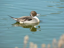 Quacking针尾鸭鸭子 图库摄影
