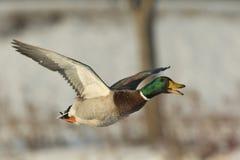 Quacking鸭子 图库摄影