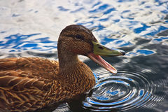 Quacking duck Royalty Free Stock Photography