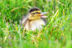 Quacking Duckling in Grass Stock Image