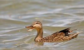 Quacking Ente. Stockfoto