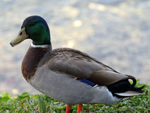 Quacking Mallard Duck Royalty Free Stock Photo