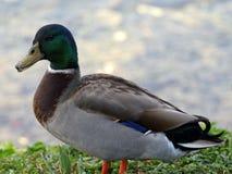 Quacking Mallard Duck. Male Mallard duck quacking on grass by a lake Royalty Free Stock Photo