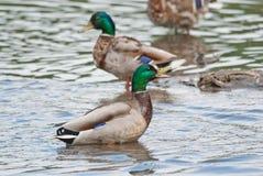 Πάπια quacks Στοκ Φωτογραφίες