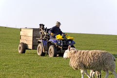 Quad biking shepherd stock images