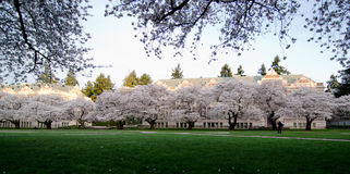Quad of UW campus, during cherry blossom Stock Image