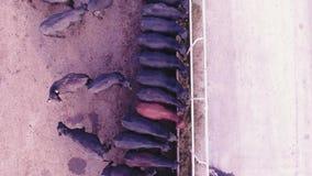 Quadcopter照相机在农场的大畜栏显示黑牛的哺养的过程 股票录像