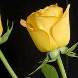 Quadrado alaranjado de rosa das rosas Foto de Stock