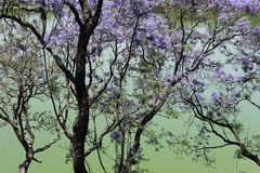 quadrangle jacaranda πανεπιστήμιο δέντρων του Σύδνεϋ Στοκ Φωτογραφίες