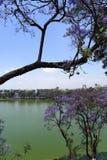quadrangle jacaranda πανεπιστήμιο δέντρων του Σύδνεϋ Στοκ Φωτογραφία
