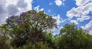 quadrangle jacaranda πανεπιστήμιο δέντρων του Σύδνεϋ Στοκ Εικόνες