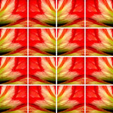 Quadrat formt voll von der Amaryllis-Blumenbeschaffenheit Stockbilder