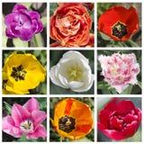 Quadratische Collage von mehrfarbigen Tulpen Die Ansicht von der Spitze, MA Lizenzfreie Stockbilder