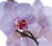 Quadratische Ernte der Orchidee Lizenzfreies Stockfoto