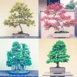 Quadratische Montage von vier Bonsaibäumen lizenzfreie stockbilder