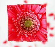 Quadratisches Blumen-Gesicht Stockbilder