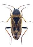 Quadratus di Xanthochilus dell'insetto Fotografia Stock Libera da Diritti