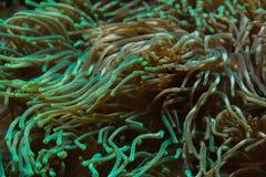 Quadricolor Entacmaea anemone φυσαλίδα-ακρών Στοκ φωτογραφία με δικαίωμα ελεύθερης χρήσης