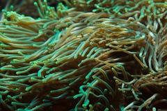 Quadricolor Entacmaea anemone φυσαλίδα-ακρών Στοκ εικόνες με δικαίωμα ελεύθερης χρήσης