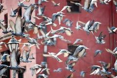 Quadrieren Sie in einer Gruppe der Flugwesentaube, Nepal Stockbild