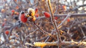 Quadril de Rosa no inverno, na geada e na neve vídeos de arquivo