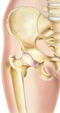 Quadril - ossos e junções foto de stock royalty free