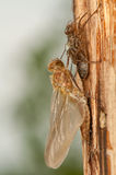 Quadrimaculata Libellula Стоковые Изображения RF