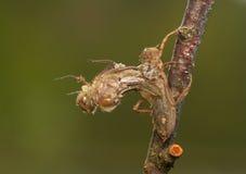 Quadrimaculata Libellula Стоковая Фотография RF