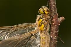 Quadrimaculata Libellula Стоковое Изображение RF