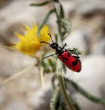 Quadripunctata de Mylabris - scarabée de quatre taches photos libres de droits