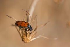 Quadripunctata Mylabris Стоковое Фото