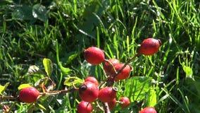 Quadris cor-de-rosa selvagens no ramo no outono video estoque
