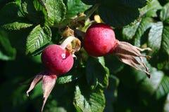 Quadris cor-de-rosa vermelhos com pingo de chuva em um arbusto fotos de stock