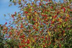 Quadris de Rosa e fruto selvagem Imagens de Stock Royalty Free