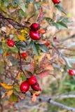 Quadris de Rosa no arbusto Foto de Stock Royalty Free