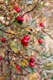 Quadris de Rosa no arbusto Fotografia de Stock