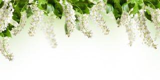 Quadro com as flores da árvore da pássaro-cereja no branco fotografia de stock royalty free