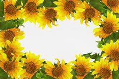 Quadro com cartão de sunflowers Fotos de Stock Royalty Free