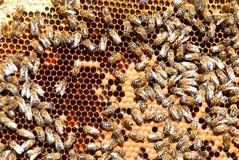 Quadro com favos de mel da abelha Fotos de Stock