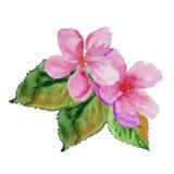 Quadro com flores da cereja Ilustração da aguarela Fotos de Stock Royalty Free