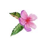 Quadro com flores da cereja Ilustração da aguarela Fotografia de Stock