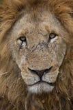 Quadro completo do retrato masculino da cara do leão Fotos de Stock