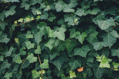 Quadro completo Ivy Leaves imagens de stock royalty free