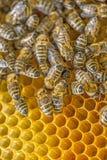 Quadro da abelha Fotografia de Stock